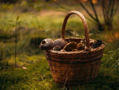 Le cèpe de Bordeaux : profitez de la saison pour mieux les connaitre